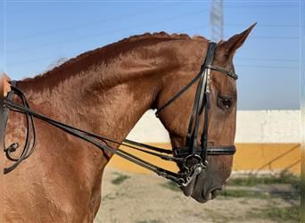 French Trotter, Gelding, 10 years, 16.1 hh, Chestnut-Red