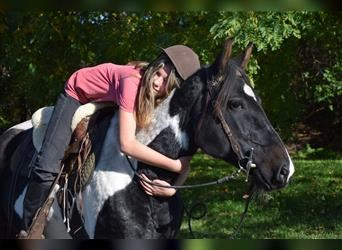 Pintos, Mare, 5 years, 14.3 hh, Pinto