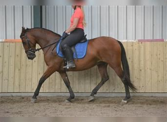 Other Breeds, Mare, 7 years, 14.2 hh, Brown