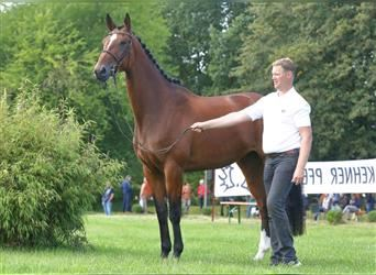 Trakehner, Mare, 5 years, 17 hh, Brown