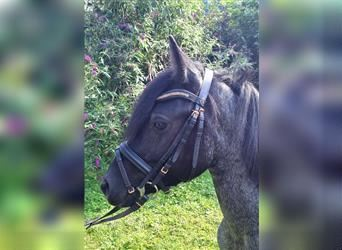 More ponies/small horses Mix, Gelding, 4 years, 12 hh, Gray