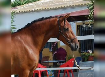 Andalusian Mix, Gelding, 3 years, 15.2 hh, Bay