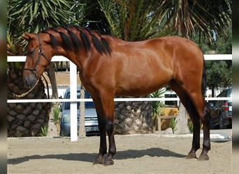 Andalusier Mix, Wallach, 3 Jahre, 160 cm, Rotbrauner
