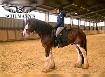 Clydesdale, Stallion, 4 years, 17 hh, Brown