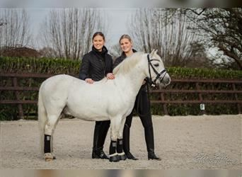 Welsh A (Mountain Pony), Gelding, 4 years