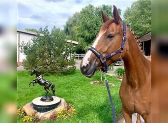 German Sport Horse, Mare, 10 years, 16.2 hh, Chestnut-Red