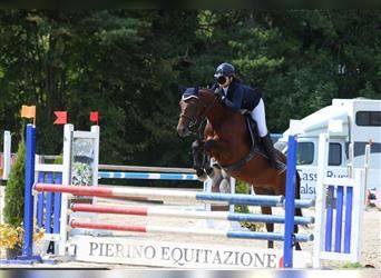 Classic Pony, Mare, 13 years, 14.2 hh, Bay