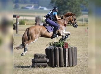 French riding pony, Gelding, 12 years, 14.2 hh, Chestnut-Red