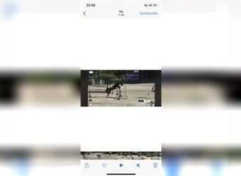 German Riding Horse Mix, Mare, 6 years