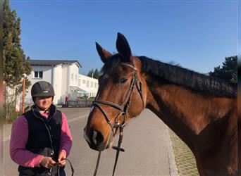 Selle Français, Mare, 13 years, 16.2 hh, Brown