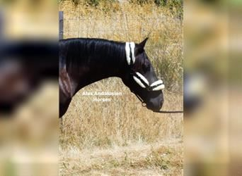 Andalusian, Gelding, 4 years, 15.1 hh, Black