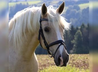 Other Breeds, Mare, 12 years, 15 hh, Palomino