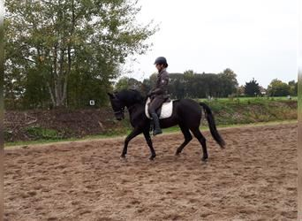 Andalusian Mix, Gelding, 11 years, 15.1 hh, Black
