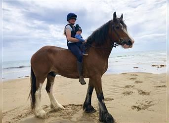 Clydesdale, Gelding, 9 years, 17.2 hh, Bay