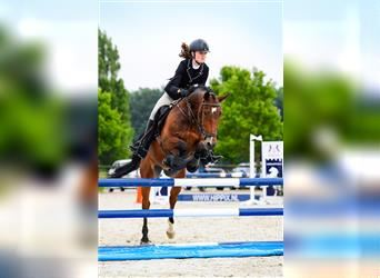 New Forest Pony, Gelding, 13 years, 14.2 hh, Brown
