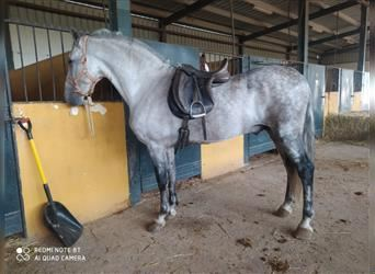 Andalusian, Gelding, 13 years, 16 hh, Gray-Dapple