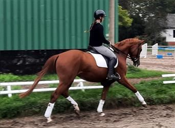 Hanoverian, Mare, 3 years, 16.1 hh, Chestnut-Red