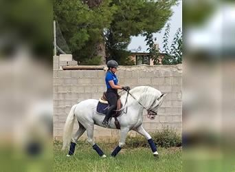 Andalusian, Stallion, 9 years, 16 hh, White