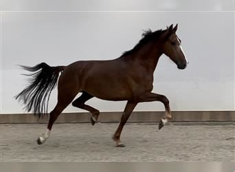 KWPN, Mare, 3 years, 15.2 hh, Chestnut