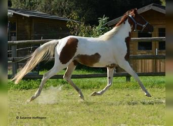 Arabian Partbred, Mare, 3 years, 15 hh, Tobiano-all-colors