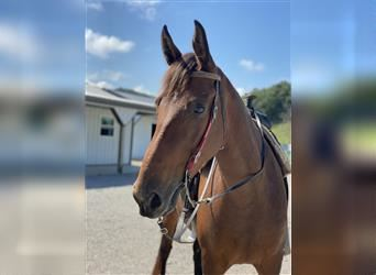 Kentucky Mountain Saddle Horse, Mare, 6 years, 16 hh, Bay