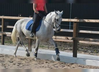 Other Breeds, Mare, 11 years, 15.1 hh, Gray