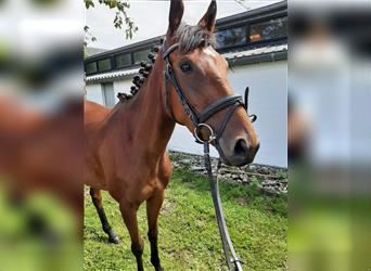 Other Thoroughbreds, Mare, 3 years, 15 hh, Brown