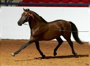 Andalusian, Stallion, 22 years, 16 hh, Bay