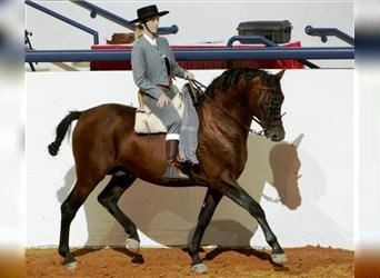 Andalusier, Hengst, 22 Jahre, 163 cm, Rotbrauner