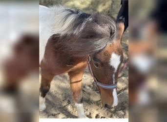Shetland Ponies, Mare, 4 years, 9.2 hh, Pinto
