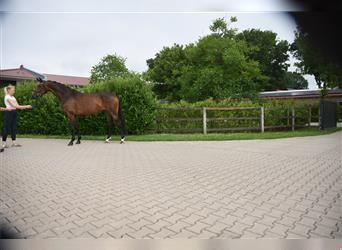 Hanoverian, Mare, 4 years, 16 hh, Brown