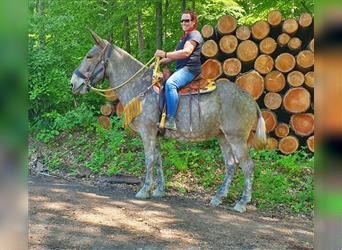 Mule, Mare, 5 years, 16.1 hh, Brown Falb mold