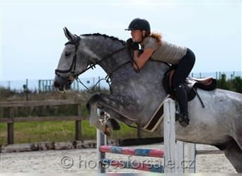 Other Warmbloods, Gelding, 6 years, 17 hh, Gray