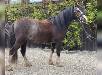 Welsh A (Mountain Pony), Gelding, 4 years, 12 hh, Chestnut