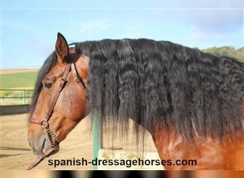 Andalusian, Stallion, 4 years, 16.2 hh, Brown