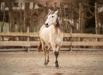 Lusitano Mix, Mare, 2 years, 14.2 hh, Can be white