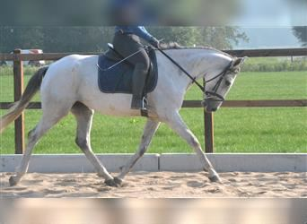 Other Breeds, Mare, 7 years, 15.1 hh, White
