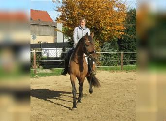 P.R.E. Mix, Mare, 8 years, 15.1 hh, Brown