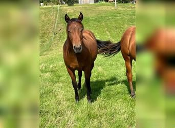 American Quarter Horse, Mare, 1 year, Brown