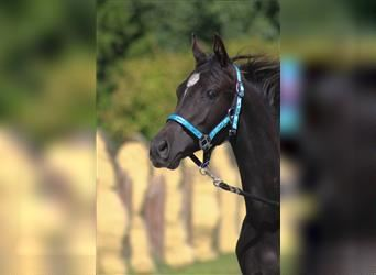 Anglo-Arab, Mare, 2 years, 16 hh, Black