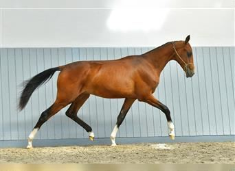 Other Warmbloods, Stallion, 4 years, 14.2 hh, Brown