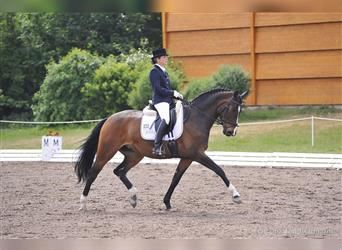German Sport Horse, Mare, 6 years, 16.1 hh, Brown