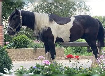 Gypsy Horse, Mare, 5 years, 14.1 hh, Pinto