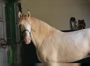 Andalusian, Stallion, 4 years, 16.1 hh, Perlino