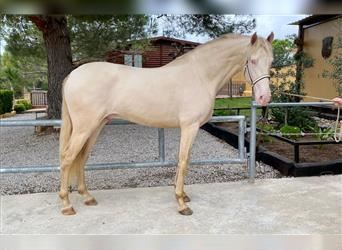Andalusier, Hengst, 4 Jahre, 166 cm, Perlino