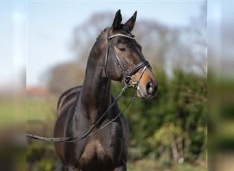 Anglo-Arab, Stallion, 19 years, 16.2 hh, Brown