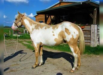 Paint Horse, Stallion, 1 year, Overo-all-colors