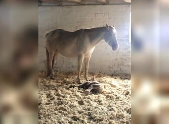 Quarter Horse, Mare, 1 year, 14.2 hh, Champagne