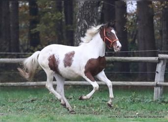Andalusian, Gelding, 2 years, 15.1 hh, Pinto