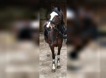 Lewitzer, Mare, 16 years, 14.1 hh, Pinto